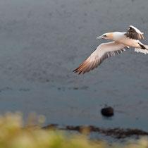 Basstölpel, Lummenfelsen Helgoland