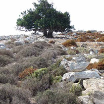 Seltener Baum