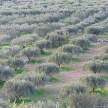 Oliven so weit man guckt
