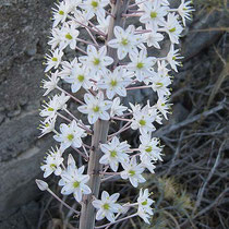 Meerzwiebelblüten