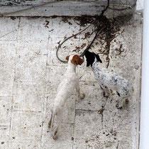 Blick von der Dachterrasse: zwei junge Jagdhunde als Nachbarn