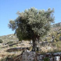 Kalymnos: Olivenbaum in Vathy