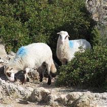 """Wer hat hier """"blaues Schaf"""" gesagt?"""