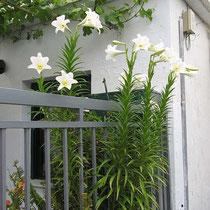 Lilien in Kalamos-Ort