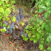 ...mit blauen Trauben