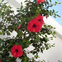 Tinos: Hibiskusblüten in der Chora