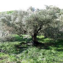 Oliven und...