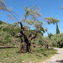 Verzauster Baum