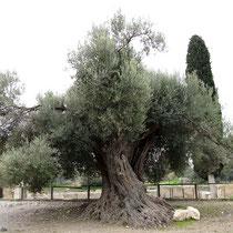 Immergrüner Olivenbaum