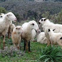 Kretische Schafe....