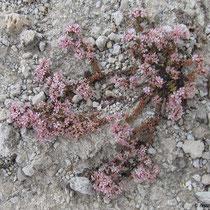 Rosa Steinpflanze