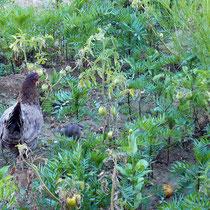 Glückliche Hühner im Tavernengarten