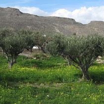 Olivenhain an der Küste