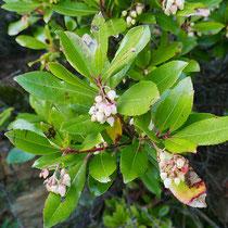Erdbeerbaumblüten