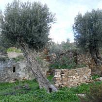 ... Olivenbäume
