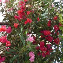 Chalki: Blütenpracht