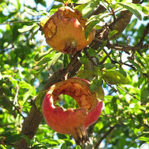 Angefressener Granatapfel