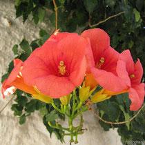 Duftende Blüte