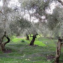 Die Oliven....