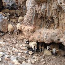 Kreta: Schafe