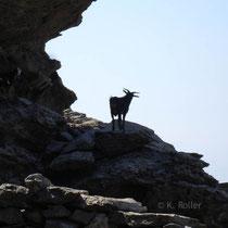 Andros: Neugierige Ziege