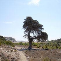 Gavdos: Südlicher Baum