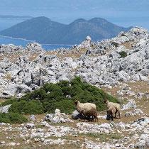 Schafe vor Atokos