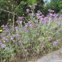 Violette Disteln überall