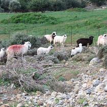 Nochmals Schafe