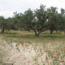 Entlang eines Olivenhaines