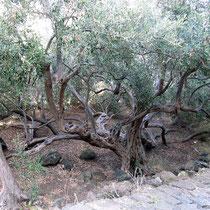 Alter Olivbaum bei der Kirche