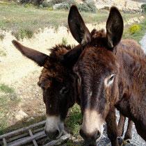 Folegandros: Esel auf der Wanderung