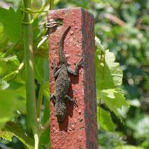 Ein Mauergecko