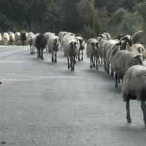 Vieh auf der Straße