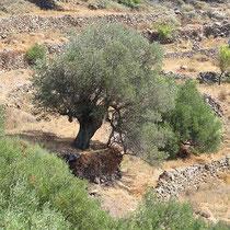 Olivbaum
