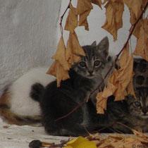 Herbstkätzchen