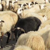 Das schwarze Schaf wieder