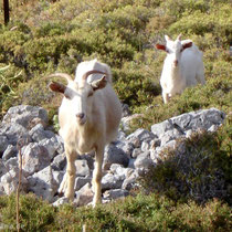 Chalki: Auch Ziegen, natürlich