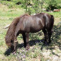 Alm-Pony