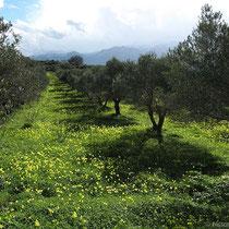 ....unter Oliven