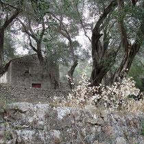 Stein und Oliven