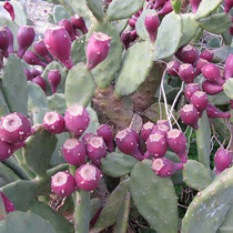 Vertrocknene Kaktusfeigen