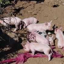 Und Glücksschweinchen