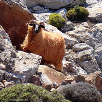 Kasos: Neugieriges Schaf