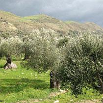 Diese Olivenhaine ....