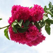 Bougainvileenblüte