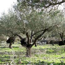 Olivenhain mit Netzen und Schafen