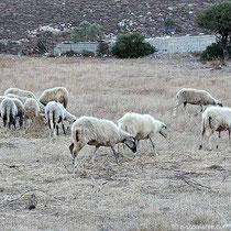 Es gibt auch Schafe