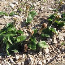 Gemeiner Krummstab (Arisarum vulgare)