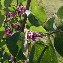Judasbaumblüten